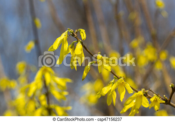 Blooming in garden bush forsythia with yellow flowers blooming in blooming in garden bush forsythia with yellow flowers csp47156237 mightylinksfo
