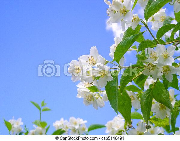 blooming jasmine against bright blue sky - csp5146491