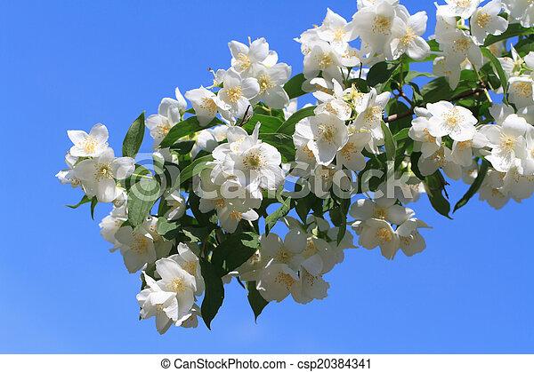 Blooming jasmine closeup against a blue sky - csp20384341
