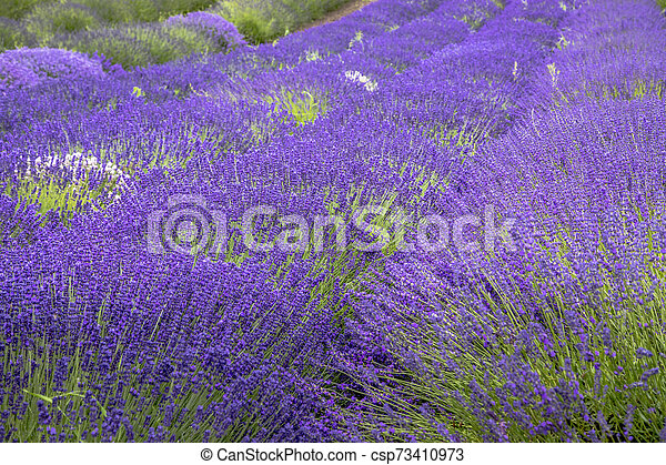 Blooming Lavender Fields In Pacific Northwest Usa Rows Of Purple