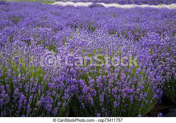 Blooming Lavender Fields In Pacific Northwest Usa Different