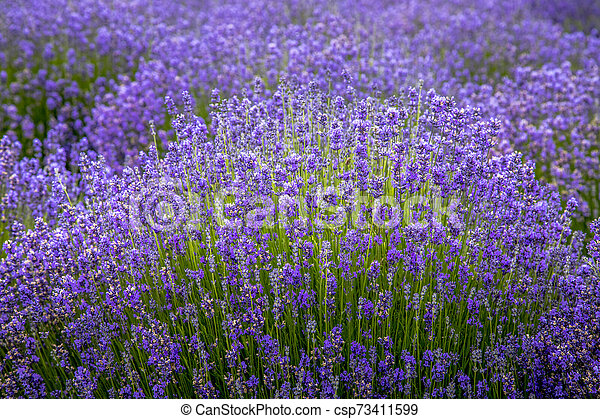 Blooming Lavender Fields In Pacific Northwest Usa Tops Of Purple