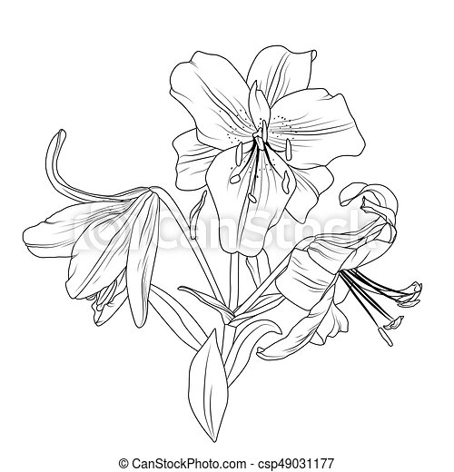 Blooming lily flowers bouquet isolated black white beautiful blooming lily flowers bouquet isolated black white csp49031177 mightylinksfo