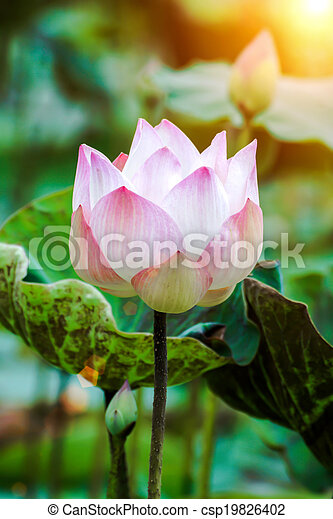 Blooming lotus flower in the farm thailand mightylinksfo