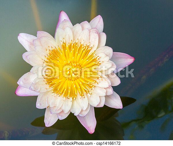Blooming lotus flower - csp14166172