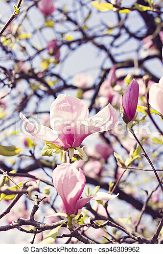 Blooming magnolia branch on a tree in the garden flowering magnolia blooming magnolia branch on a tree in the garden flowering magnolia tree densely covered with mightylinksfo