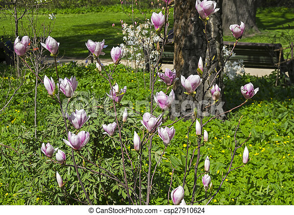 Blooming Magnolia Bush Lat Magnolia Soulangeana Beginning Of May