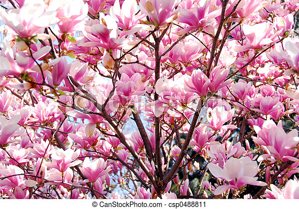 Background of blooming magnolia tree with big pink flowers stock blooming magnolia csp0488811 mightylinksfo