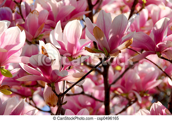 Blooming magnolia background of blooming magnolia tree with big blooming magnolia csp0496165 mightylinksfo