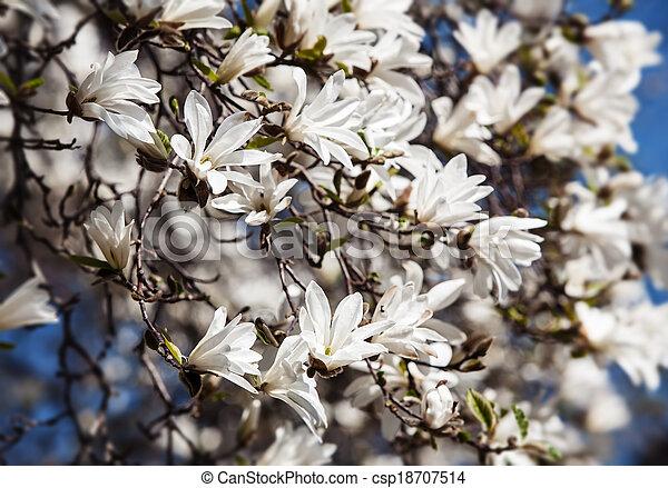 Blooming magnolia tree magnolia kobus blooming tree with white blooming magnolia tree csp18707514 mightylinksfo