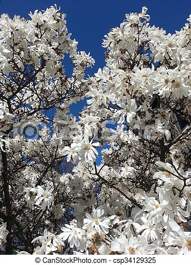 Blooming Magnolia Tree Pure White Flowering Magnolia Tree In Spring