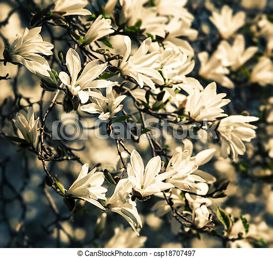 Blooming magnolia tree - csp18707497