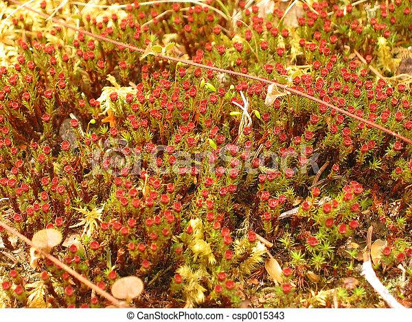 Blooming moss - csp0015343