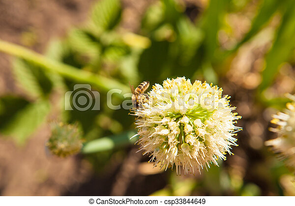 blooming onions in the garden - csp33844649