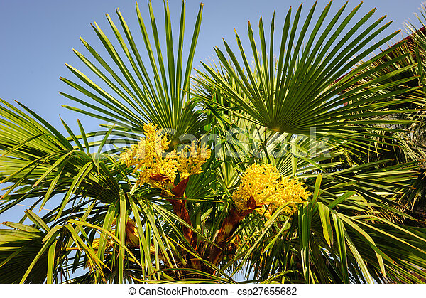Blooming palm tree top section with yellow flowers and sky blooming palm tree csp27655682 mightylinksfo