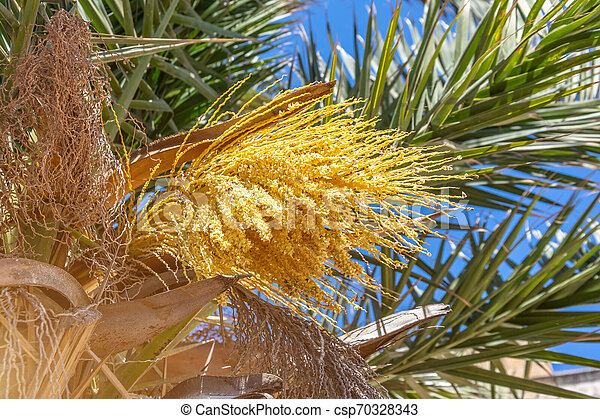Blooming Palm Tree With Yellow Flowers Blooming Small Palm Tree With Yellow Flowers Canstock