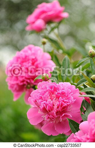 Blooming peony bush with large pink flowers a beautiful blooming blooming peony bush with large pink flowers csp22733507 mightylinksfo