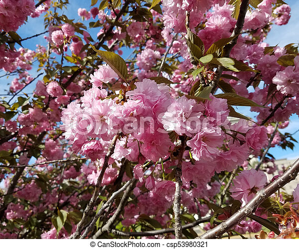 Blooming Pink Flower Trees In Spring Close Up On A Tree With