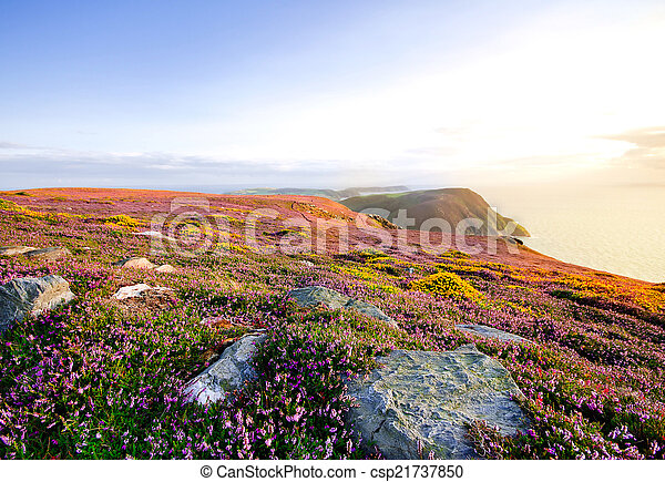 Blooming Purple Heather, Cliffs and Sea. Isle of Man - csp21737850