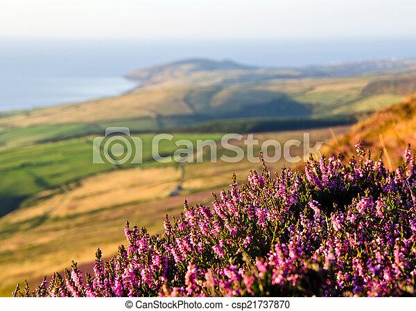 Blooming Purple Heather, Fields, sea. Isle of Man - csp21737870