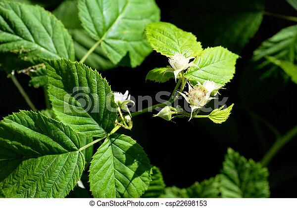 Blooming raspberry plant - csp22698153