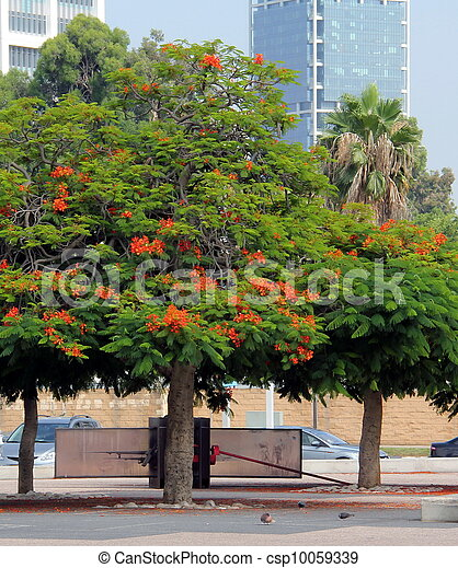 Blooming Red Acacia Blooming Tropical Acacia With Red Flowers At