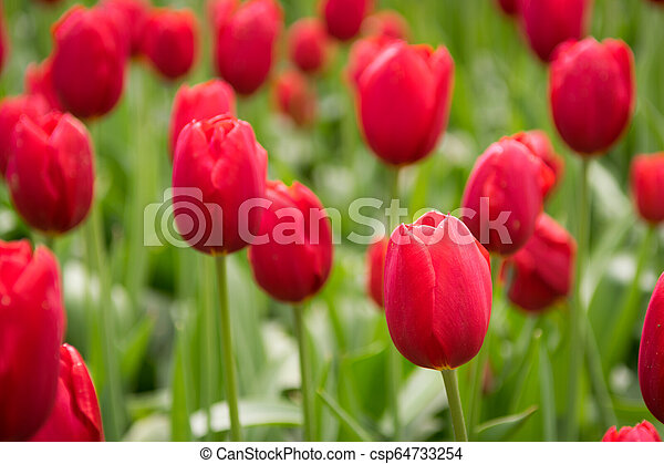 Blooming red tulips, selective focus, shallow depth of field - csp64733254