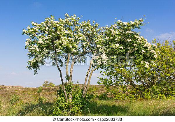 Blooming Sorbus - csp22883738