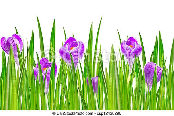 blooming spring crocus flower - csp12438290