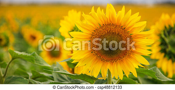 Blooming sunflower close up - csp48812133