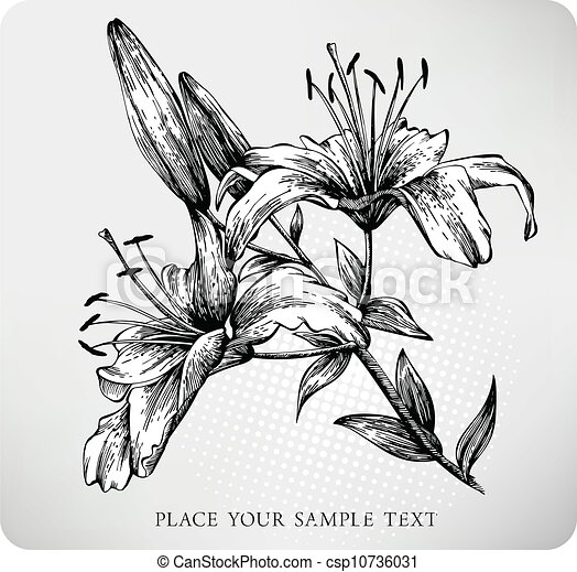 blooming tiger lily hand draw vector