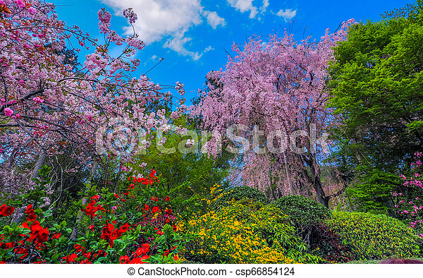 Blooming Weeping Cherry Tree Japanese Garden With Fully Blossomed