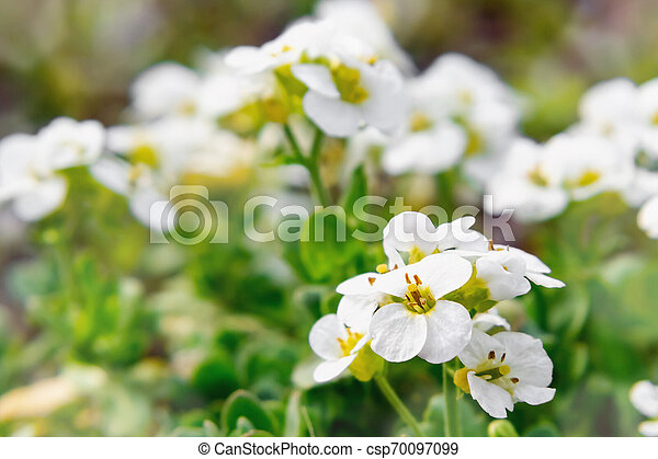 Blooming white arabis in rockery in the spring garden - csp70097099