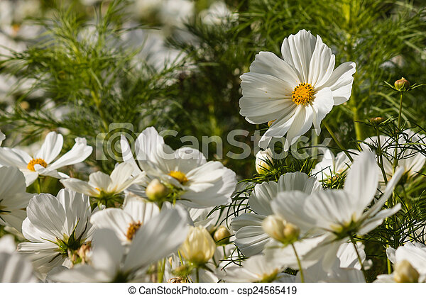 Detail of blooming white cosmos flowers blooming white cosmos flowers csp24565419 mightylinksfo