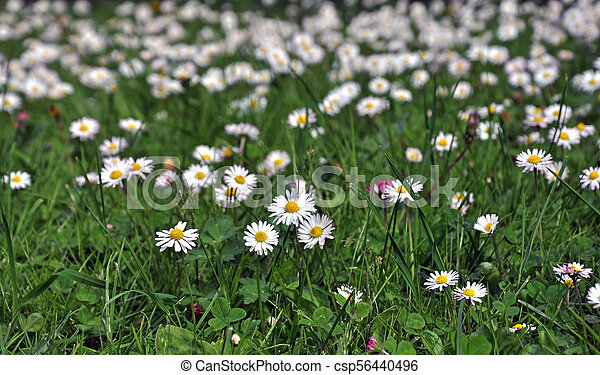 Blooming white daisies on a green meadow. - csp56440496