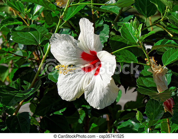 Blooming White Hibiscus Flower Brilliant Red Center Blooming White
