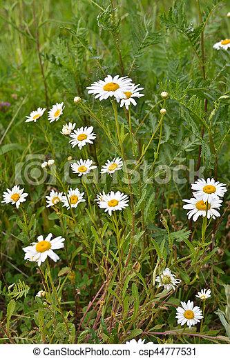 Blooming wild chamomile. - csp44777531