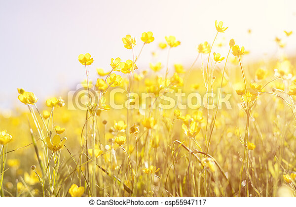 Blooming yellow flower in the field on a sunny day in the summer time - csp55947117