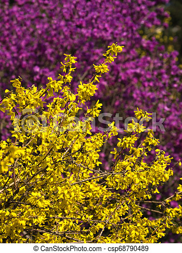 Blooming Yellow Forsythia On A Pink Background Blooming Yellow