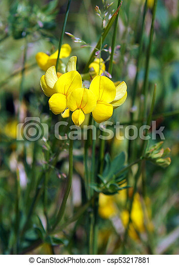 Blooming Yellow Lucerne Sickle Alfalfa In A Field Medicago Falcata