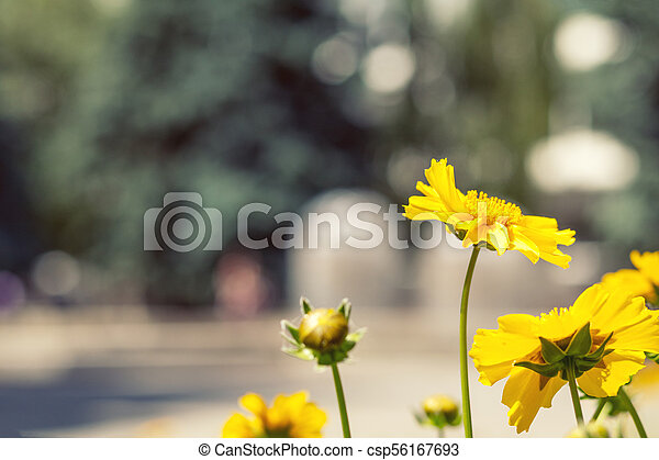 Blooming yellow tender daisies in the summer time - csp56167693