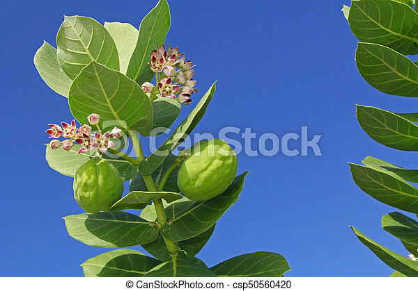 Blooms and Seed Pods on a Giant Milkweed - csp50560420