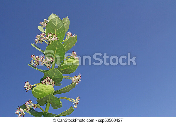 Blooms and Seed Pods on a Giant Milkweed - csp50560427