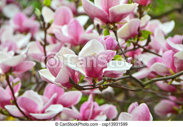 Bloomy magnolia tree with big pink flowers bloomy magnolia tree csp13931599 mightylinksfo