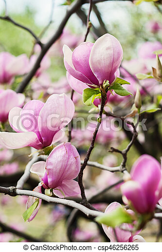 Bloomy magnolia tree with big pink flowers stock image search bloomy magnolia tree with big pink flowers csp46256265 mightylinksfo