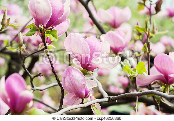 Bloomy magnolia tree with big pink flowers stock image search bloomy magnolia tree with big pink flowers csp46256368 mightylinksfo