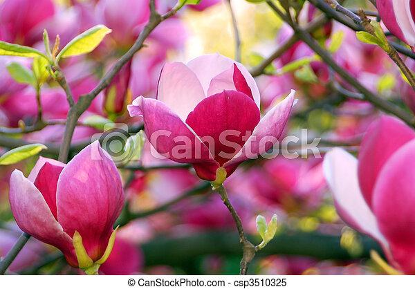 Bloomy magnolia tree with big pink flowers stock images search bloomy magnolia tree with big pink flowers csp3510325 mightylinksfo
