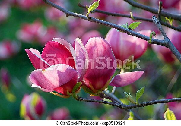 Bloomy magnolia tree with big pink flowers bloomy magnolia tree with big pink flowers mightylinksfo