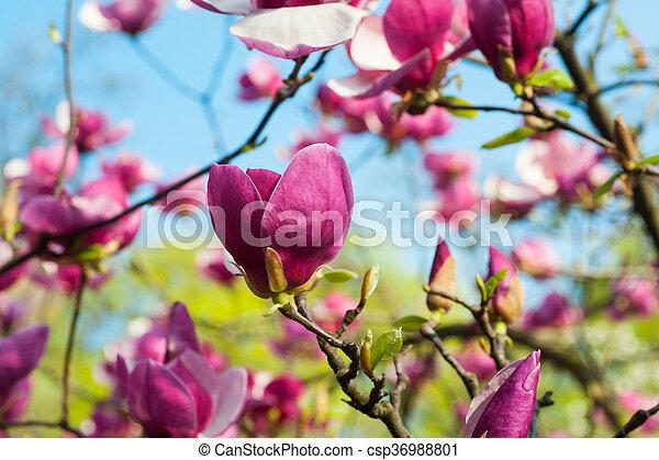 Bloomy magnolia tree with big pink flowers in garden mightylinksfo