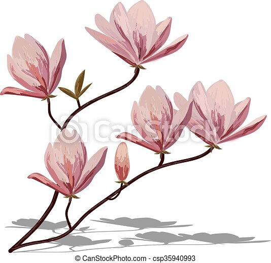 blossom brunch of pink magnolia isolated on white eps vectors rh canstockphoto com magnolia wreath clipart magnolia leaf clipart